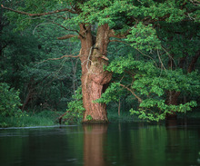 Canvas print - Oak Flooded by River