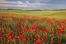 Fototapet - Sea of Poppies
