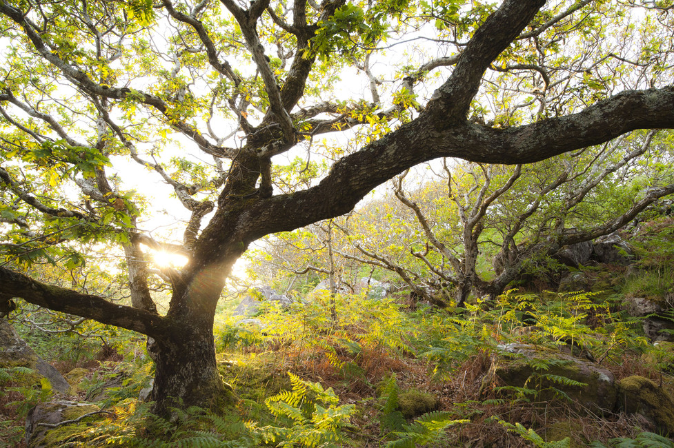 Great Oak Tree Wall Mural Amp Photo Wallpaper Photowall