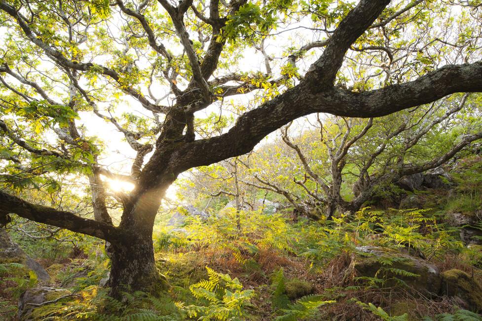 Great oak tree canvas print art photowall