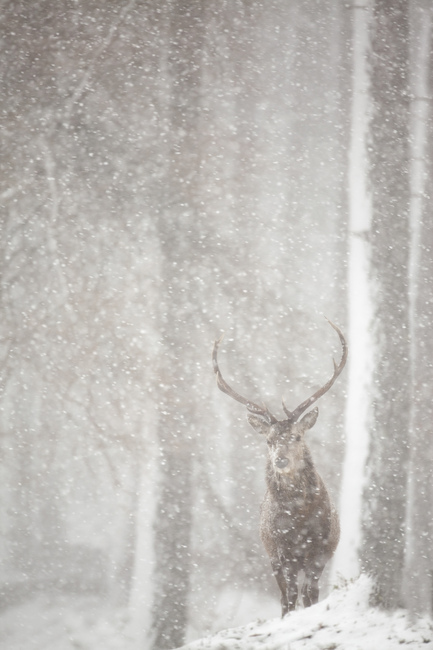 Red Deer in Heavy Snowfall
