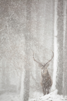 Fotobehang - Red Deer in Heavy Snowfall