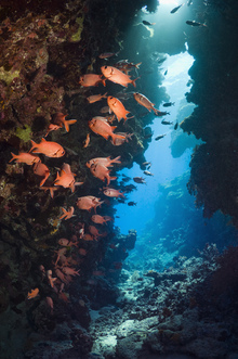 Fototapet - Red Soldierfish