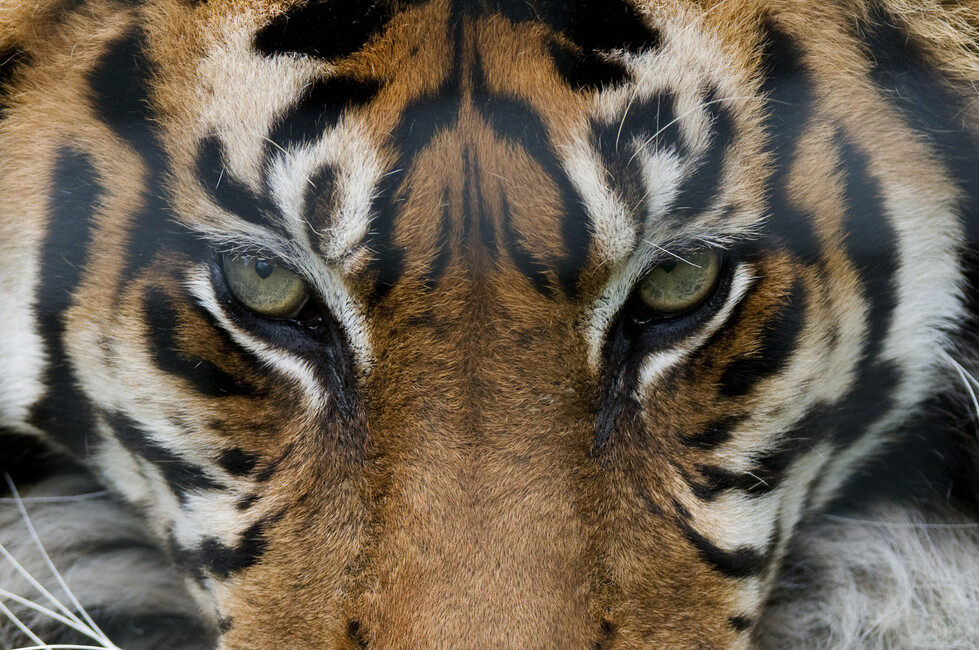 Eye Of The Tiger Wall Mural Amp Photo Wallpaper Photowall