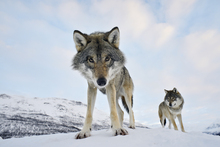 Fototapet - Interested Grey Wolf