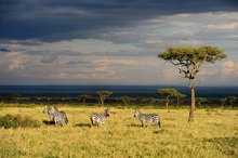 Wall mural - Savanna Zebras