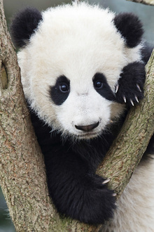 Canvas print - Giant Panda Cub