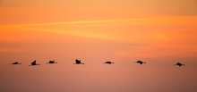 Fototapete - Cranes in Sunrise
