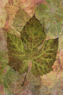 Canvas print - Fallen Grape Leaf Pattern