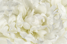 Wall Mural - Ivory White Peony