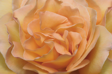 Canvas print - Orange Rose