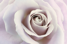 Canvas print - Soft Rose in Cool Shades