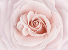 Canvas print - Soft Rose in Peach Pink Shades