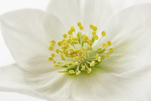 Canvas print - White Christmas Rose