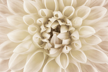 Canvas print - White Dahlia