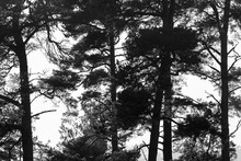 Wall mural - Pine Forest bw