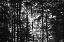 Canvastavla - Pine Trunk bw
