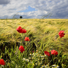 Canvas print - Velvety Barley and Poppies Field