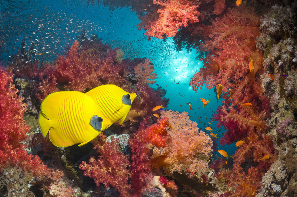 Butterfly Fish and Red Corals