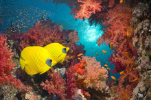 Canvastavla - Butterfly Fish and Red Corals