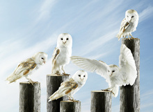 Canvas print - White Owls