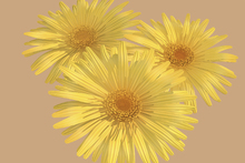 Fototapet - Yellow Daisies on pink