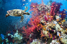Wall Mural - Turtle and Corals