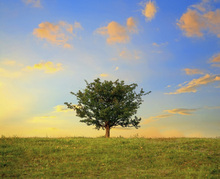 Canvas print - Hawthorn Tree and Golden Clouds