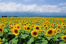 Wall mural - Sunflowers in Sunny Weather