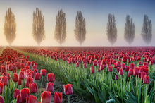 Canvasschilderij - Misty Morning in Tulip Field