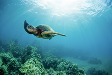 Fototapete - Hawaiian Green Sea Turtle