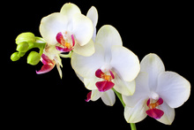 Mural de pared - White Orchids on Black Background