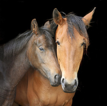 Fototapet - Horse and Foal