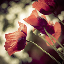 Fotobehang - Beautiful Poppies