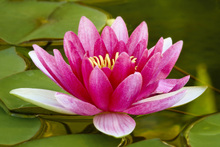 Canvas print - Pink Water Lily