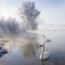 Fototapete - Icy Swan Lake