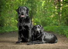 Canvas print - Two Black Labradors