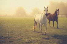 Wall Mural - Quarter Horses in Morning Fog