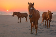 Fototapet - Chestnut Horses on Sunset Beach