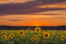 Wall mural - Sunset over Sunflowers