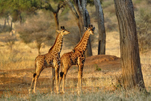 Fototapet - Young Giraffes at Sunset
