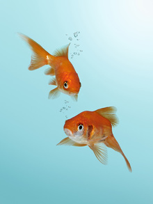 Canvas print - A Pair of Goldfish