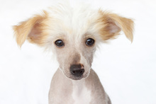 Fototapet - Hairless Chinese Crested Puppy