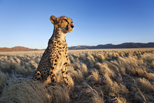 Fototapete - Cheetah on the Lookout