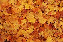 Canvastavla - Bed of Autumn Maple Leaves