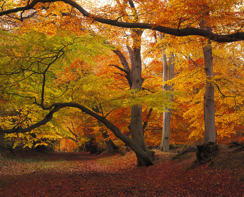 Beechwood in Autumn