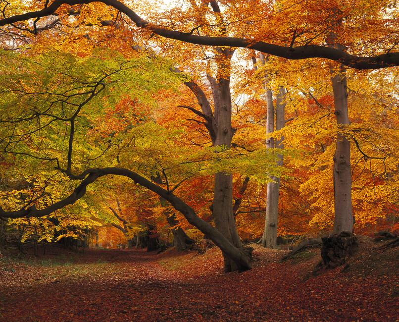 Beechwood in autumn wall mural photo wallpaper photowall for Autumn wall mural