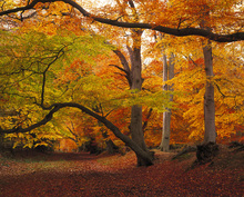 Canvastavla - Beechwood in Autumn
