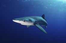 Fototapet - Lone Blue Shark