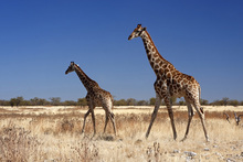 Fototapet - Giraffes at Etosha National Park